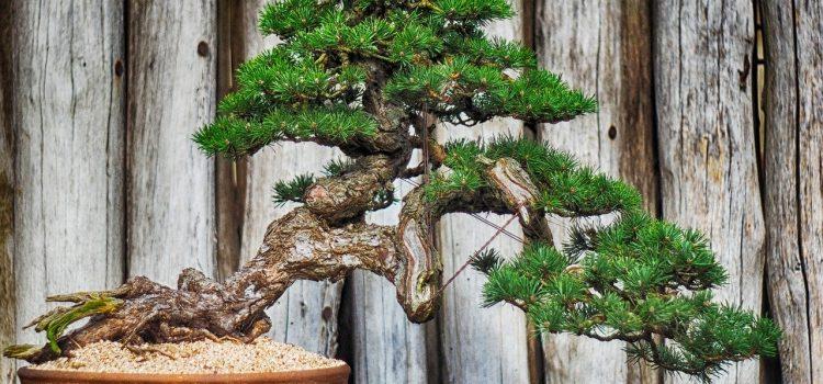 Drzewka bonsai – jakie wybrać i jak hodować?