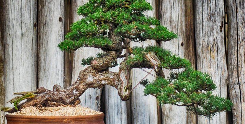 Drzewka bonsai - jakie wybrać i jak hodować?